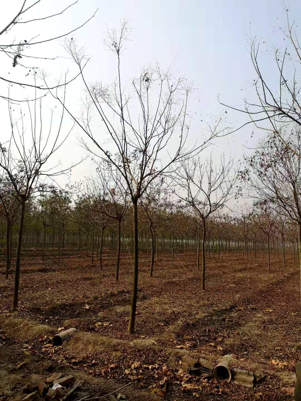 北京栾树10、12、
