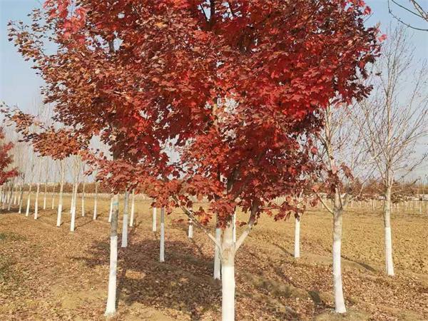 今日12公分美国红枫