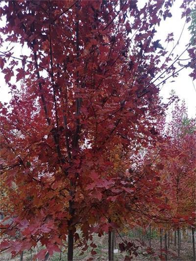 直径15公分美国红枫